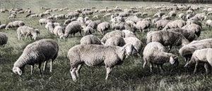 Bầy cừu